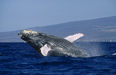 Humpback Whale (Megaptera novaeangliae) breaching, Kona coast, Hawaii