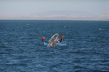 Gray Whale (Eschrichtius robustus) watched by tourists, San Ignacio Lagoon, Baja California, Mexico  -  Flip Nicklin