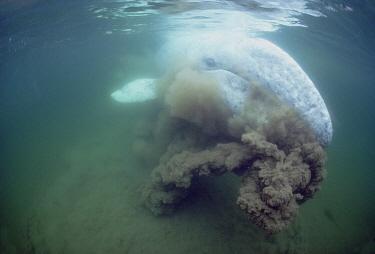 Gray Whale (Eschrichtius robustus) filter feeding, Tofino, Vancouver Island, British Columbia, Canada  -  Flip Nicklin