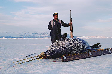 Narwhal (Monodon monoceros)carcass with two tusks with Inuit hunter, Baffin Island, Canada  -  Flip Nicklin