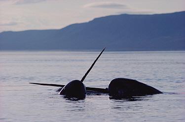 Narwhal (Monodon monoceros) two males fighting, Baffin Island, Canada  -  Flip Nicklin