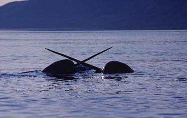 Narwhal (Monodon monoceros) two males fighting, Baffin Island, Nunavut, Canada  -  Flip Nicklin