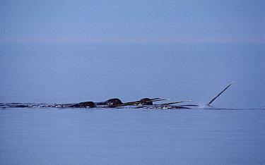 Narwhal (Monodon monoceros) group at water surface  -  Flip Nicklin