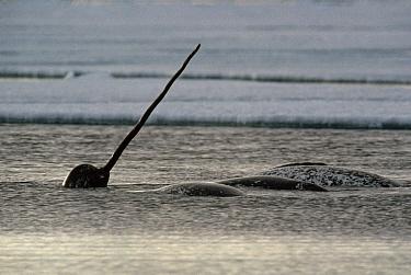 Narwhal (Monodon monoceros) surfacing, Baffin Island, Nunavut, Canada  -  Flip Nicklin