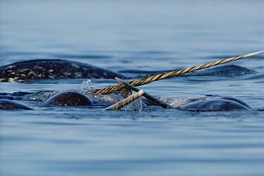 Narwhal (Monodon monoceros) males fighting, Canada  -  Flip Nicklin