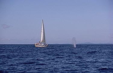 Blue Whale (Balaenoptera musculus) spouting near sail boat,  -  Flip Nicklin