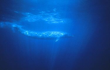 Blue Whale (Balaenoptera musculus) swimming, Sri Lanka  -  Flip Nicklin