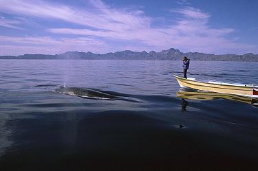 Blue Whale (Balaenoptera musculus) researcher Richard Sears photographing whale near Loreto, Baja California, Mexico  -  Flip Nicklin