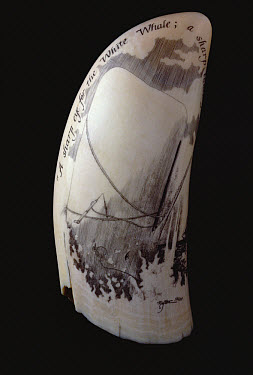 Scrimshaw with inscription reading, A sharp eye for the white whale  -  Flip Nicklin