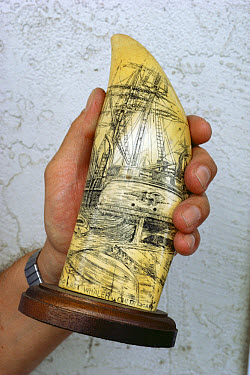 Sperm Whale (Physeter macrocephalus) tooth carved with scrimshaw artwork of whales and whaling vessels  -  Flip Nicklin