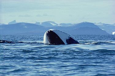 Bowhead Whale (Balaena mysticetus) juvenile basking at surface, Baffin Island, Canada  -  Flip Nicklin