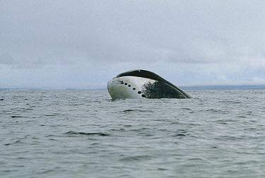 Bowhead Whale (Balaena mysticetus) surfacing, Baffin Island, Canada  -  Flip Nicklin