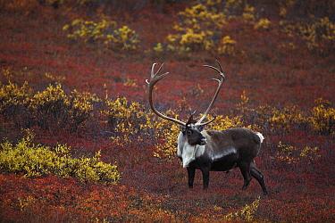 Caribou (Rangifer tarandus) bull on autumn tundra, Denali National Park and Preserve, Alaska  -  Michio Hoshino