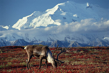 Caribou (Rangifer tarandus) bull grazing beneath Mt Denali, Denali National Park and Preserve, Alaska  -  Michio Hoshino