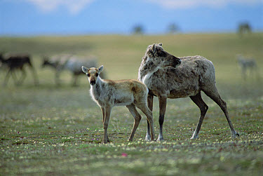 Caribou (Rangifer tarandus) female and calf of the Porcupine Herd, Arctic National Wildlife Refuge, Alaska  -  Michio Hoshino