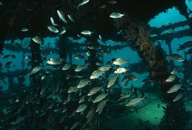 School of saltwater fish swimming through sunken ship, California  -  Flip Nicklin
