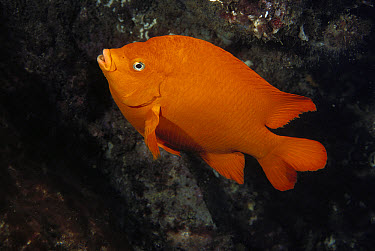 Garibaldi (Hypsypops rubicundus) swimming, Channel Islands National Park, California  -  Flip Nicklin