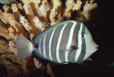 Sailfin Tang (Zebrasoma veliferum) profile  -  Flip Nicklin