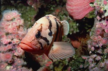 Tiger Rockfish (Sebastes nigrocinctus) portrait, underwater  -  Flip Nicklin