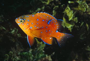 Garibaldi (Hypsypops rubicundus) juvenile, California  -  Flip Nicklin
