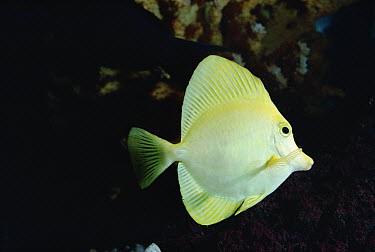 Yellow Tang (Zebrasoma flavescens) underwater portrait  -  Flip Nicklin
