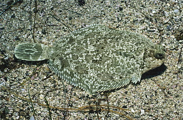 Flatfish (Pleuronectiformes) camouflaged on ocean floor, California  -  Flip Nicklin