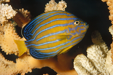Blue-striped Angelfish (Chaetodontoplus septentrionalis), California