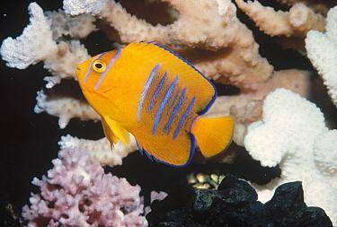 Queen Angelfish (Holacanthus ciliaris) juvenile, Cocos Island, Costa Rica  -  Flip Nicklin
