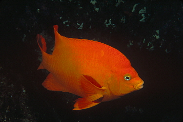 Garibaldi (Hypsypops rubicundus), Channel Islands National Park, California