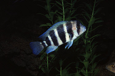 Humphead Cichlid (Cyphotilapia frontosa) endemic to Lake Tanganyika, central Africa  -  Flip Nicklin