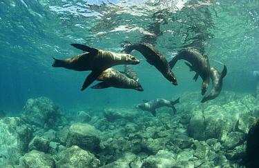 California Sea Lion (Zalophus californianus) group playing underwater, Isla Espiritu Santo, Baja California, Mexico  -  Flip Nicklin
