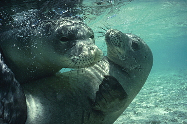 Hawaiian Monk Seal (Monachus schauinslandi) pair playing, Hawaii