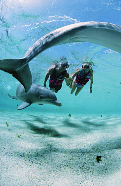 Bottlenose Dolphin (Tursiops truncatus) swimming with two divers, Dolphin Quest Learning Center, Waikoloa Hyatt, Hawaii  -  Flip Nicklin