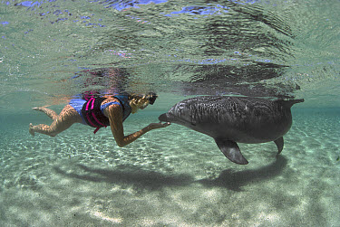 Bottlenose Dolphin (Tursiops truncatus) with female snorkeler, Dolphin Quest Learning Center, Hawaii  -  Flip Nicklin