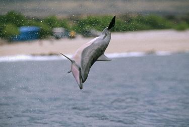 Spinner Dolphin (Stenella longirostris) jumping, Hawaii  -  Flip Nicklin