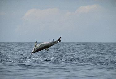Spinner Dolphin (Stenella longirostris) jumping with Remora (Remora remora) attached, Hawaii  -  Flip Nicklin