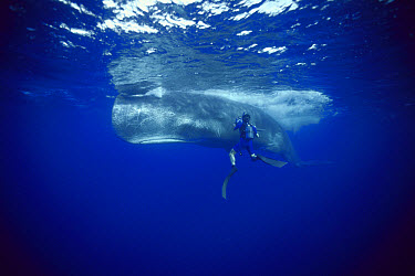 Sperm Whale (Physeter macrocephalus) being filmed by diver Rick Rosenthal with the BBC, Dominica  -  Flip Nicklin