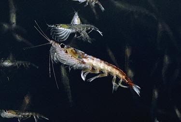 Antarctic Krill (Euphausia superba) crustacean, Antarctica