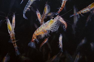 Antarctic Krill (Euphausia superba) mass, Antarctica