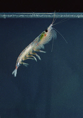 Antarctic Krill (Euphausia superba) a small shrimp-like crustacean is the most important zooplankton in the Antarctic food web, Antarctica  -  Flip Nicklin