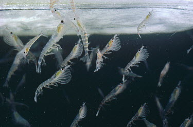 Antarctic Krill (Euphausia superba) mass feeding on algae growing on underside of ice, Antarctica  -  Flip Nicklin