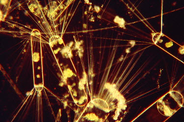 Diatoms tiny phytoplankton which are food for Antarctic Krill (Euphausia superba) a small shrimp-like crustacean is the most important zooplankton in the Antarctic food web, Antarctica  -  Flip Nicklin