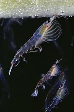 Antarctic Krill (Euphausia superba) feeding on algae-covered ice, Antarctica