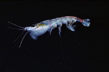 Antarctic Krill (Euphausia superba) a small shrimp-like crustacean critical to the marine food chain, Antarctica  -  Flip Nicklin