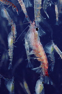 Antarctic Krill (Euphausia superba) group, a small shrimp-like crustacean is the most important zooplankton in the Antarctic food web, Antarctica  -  Flip Nicklin