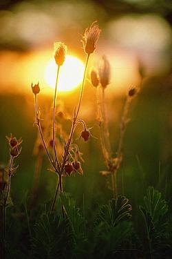 Pasque Flower (Pulsatilla sp) group growing on prairie at sunset in June, Minnesota  -  Jim Brandenburg