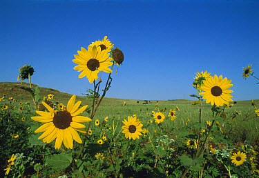 Sunflower (Helianthus petiolaris) closely related to Common Sunflower, South Dakota  -  Jim Brandenburg