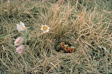 Horned Lark (Eremophila alpestris) chicks in nest on prairie with Pasque Flower (Pulsatilla sp) group, Minnesota  -  Jim Brandenburg