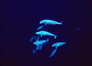 Beluga (Delphinapterus leucas) pod underwater, Lancaster Sound, Nunavut, Canada  -  Flip Nicklin