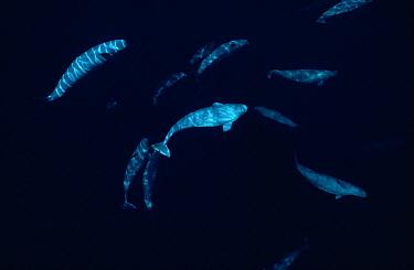 Beluga (Delphinapterus leucas) whale, curious pod at 200 foot depth, Lancaster Sound, Nunavut, Canada  -  Flip Nicklin